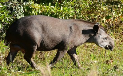 Tapirs could be key in helping degraded rainforests to bounce back